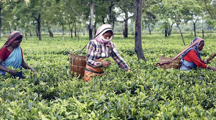 The ongoing trend of supply outstripping demand as small tea growers flooded the market was reversed from June onwards as the lockdown induced disruption and floods destroyed crops, resulting in more than 50 per cent higher auction prices during the July-September period.