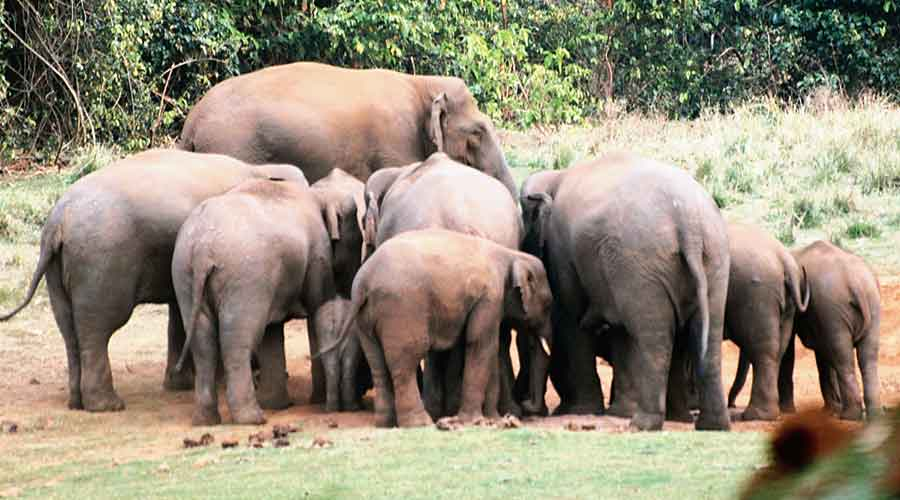 A herd of elephants in the Chaibasa forest division of Jharkhand