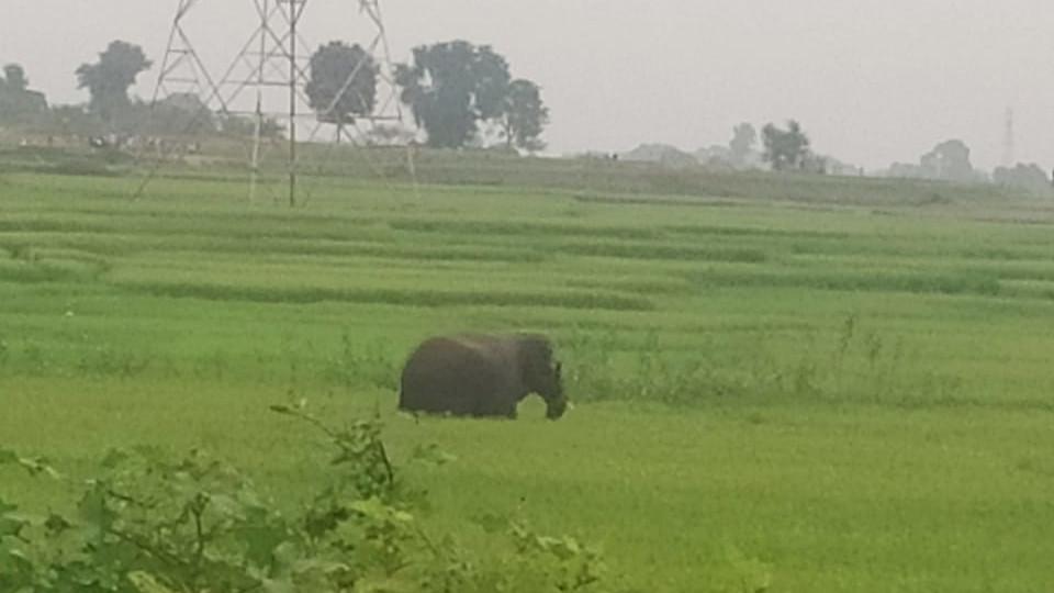 The elephant roams in a field in Vishnugarh, Hazaribagh on Tuesday.