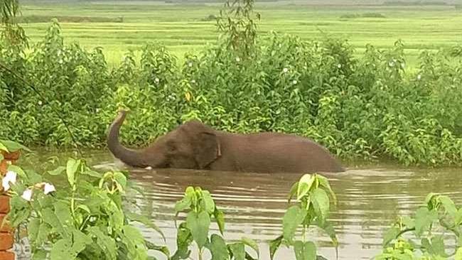 The elephant in Tribhuvan talab.