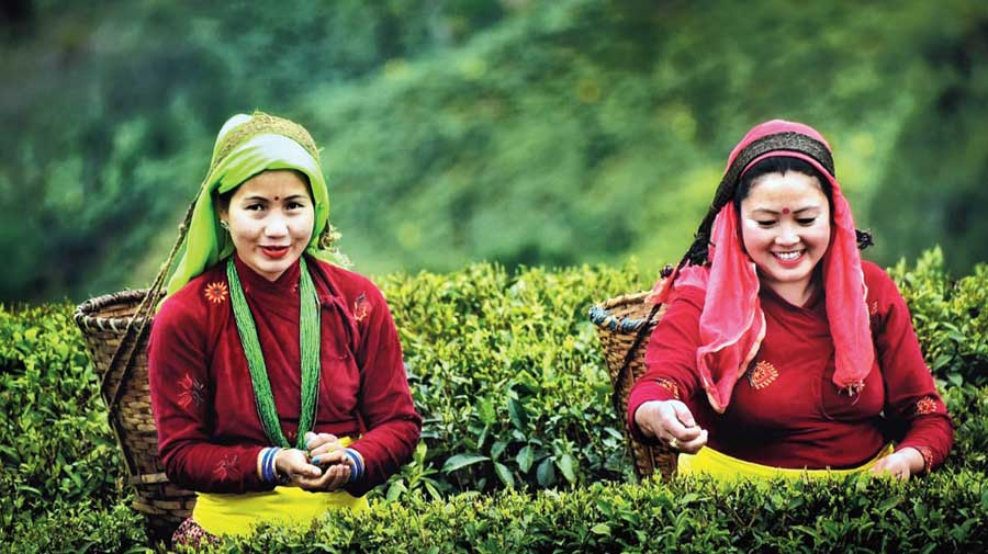 Workers pluck tea leaves in a garden in the Darjeeling hills.