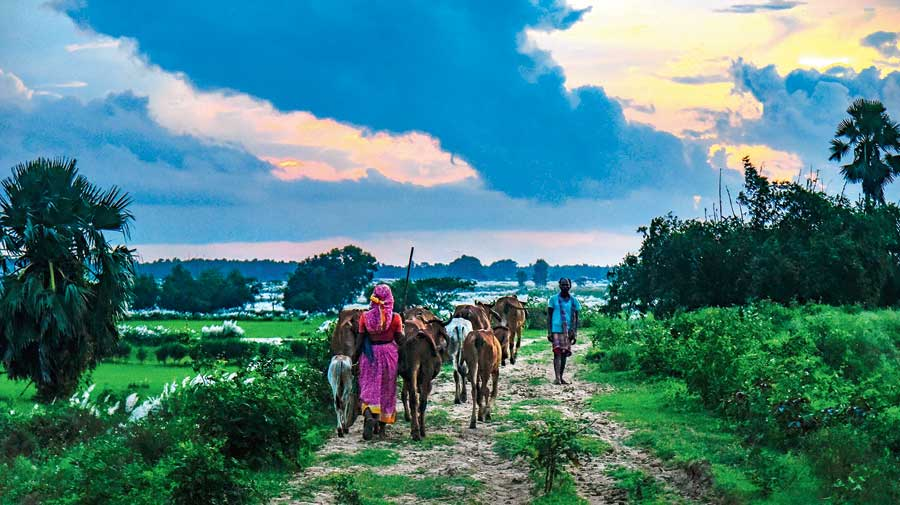 A woman returns home with her cattle at Rajatpur in Birbhum on Wednesday.