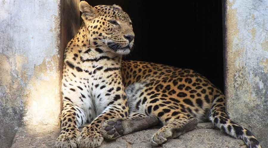Sources said in the past few days, the residents and the managerial staff of the garden had felt the presence of a leopard in the plantation.