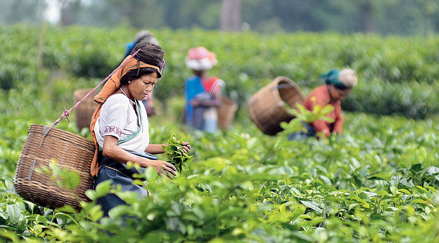"""Only 87 tea gardens can sell their produce as """"Darjeeling Tea"""" because of the Geographic Indicator status they received in 2003. Other gardens cannot sell their tea as """"Darjeeling Tea""""."""