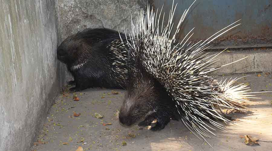 The pair of porcupines at Bokaro Zoo on Thursday.
