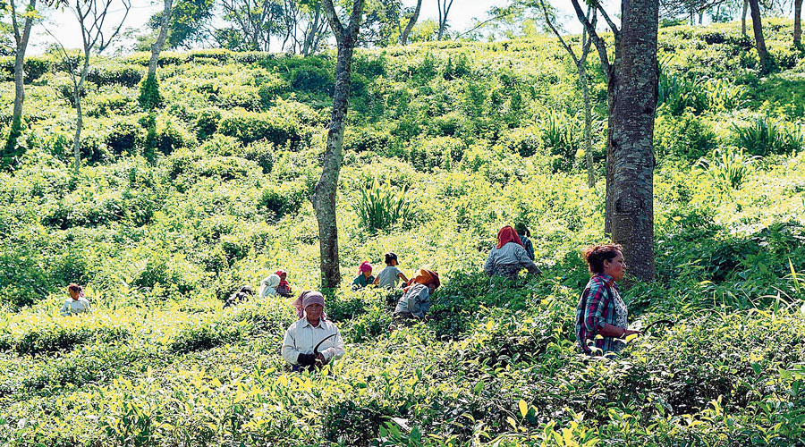 The company, which was carved out of the erstwhile Tata Tea Ltd in 2007, has 21 gardens in Assam and four in Bengal.