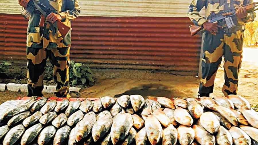 Smuggled 250kg hilsa seized at border