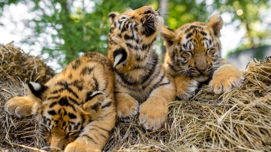 With 70 per cent of the world's tigers living in India, the researchers said understanding the genetic diversity of tigers in the country is critical to the feline's conservation worldwide.