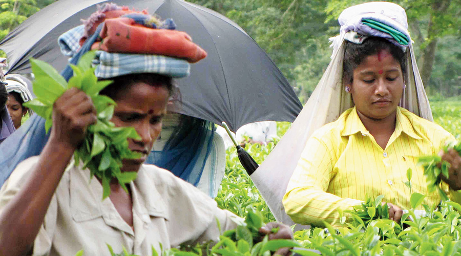February 22 is the date on which the plucking and production would start in the Darjeeling hills and Sikkim.