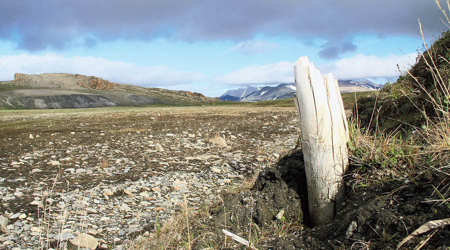 A woolly mammoth tusk at a site on Wrangel island, northeastern Siberia.