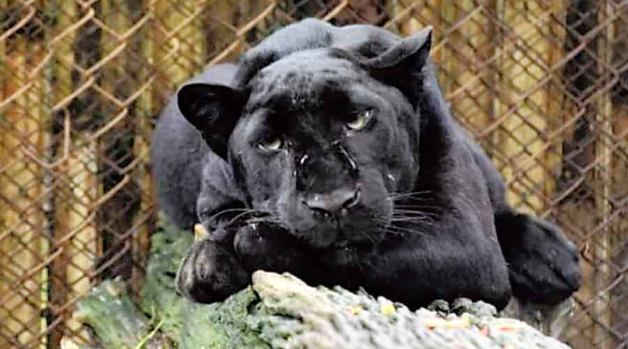 One of the five black panthers that are still with  the Assam State Zoo
