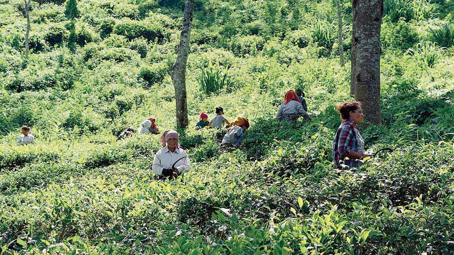 Tea workers in Darjeeling