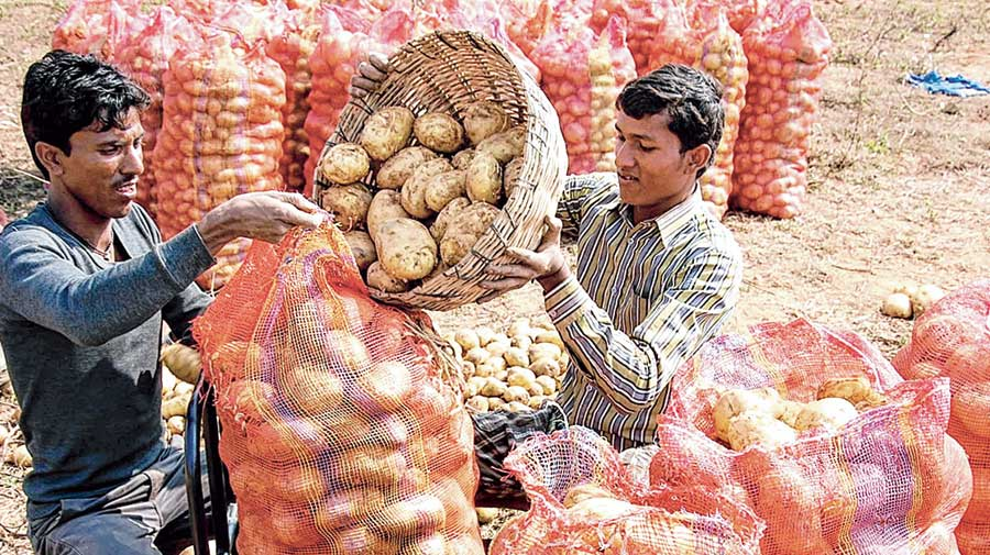 The state government initiative is also seen as an attempt to keep over 15 lakh potato farmers across Hooghly, East Burdwan, West Midnapore and Birbhum in good humour with a price buffer ahead of the Assembly polls as the BJP has organisationally strengthened itself in these four districts.