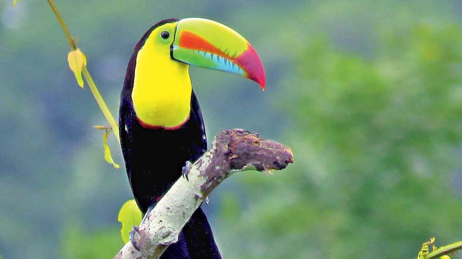 A keel-billed toucan. Two toco toucans and one keel-billed toucan are  missing from Alipore zoo