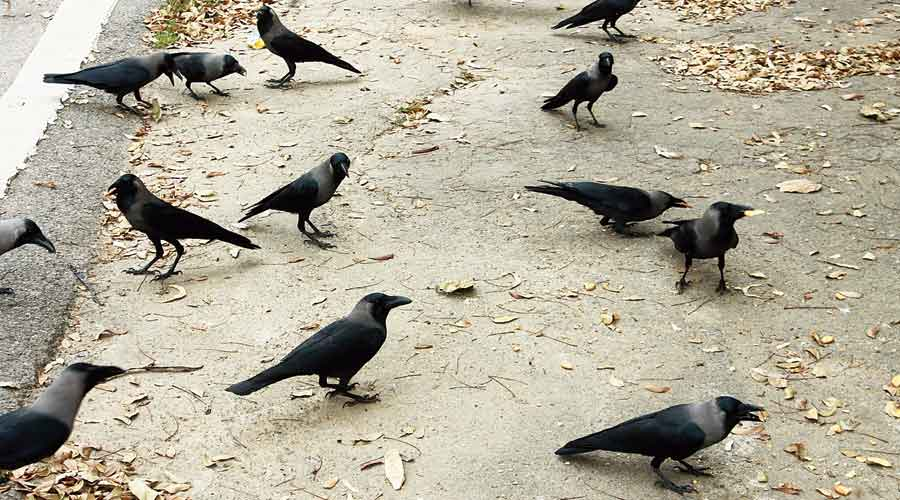 Crows feed on leftovers near Jubilee Park in Jamshedpur  on Monday