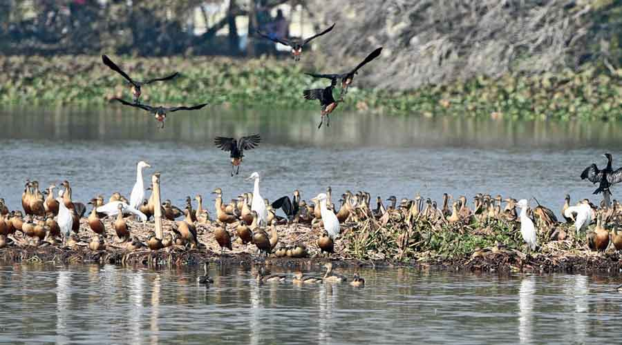 """The survey on Friday validated this data and a population of 1 million-plus birds is estimated.  ""This year, more birds have been found in the central and southern sectors of Chilika. Sudden increase in the population of diving ducks which prefer open water was noticed during the current season, particularly in the areas where prawn gherries (dykes) were removed, clearly indicating its beneficial impact for migratory birds,"" Nanda said."