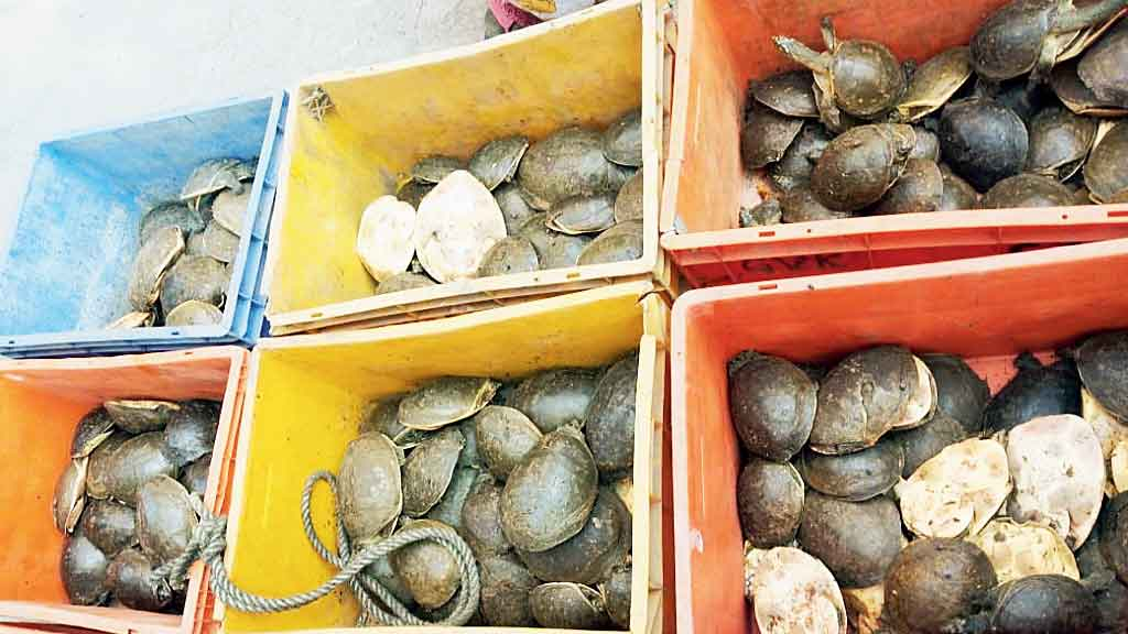 A part of the consignment of Indian softshell turtles seized by the police on Wednesday