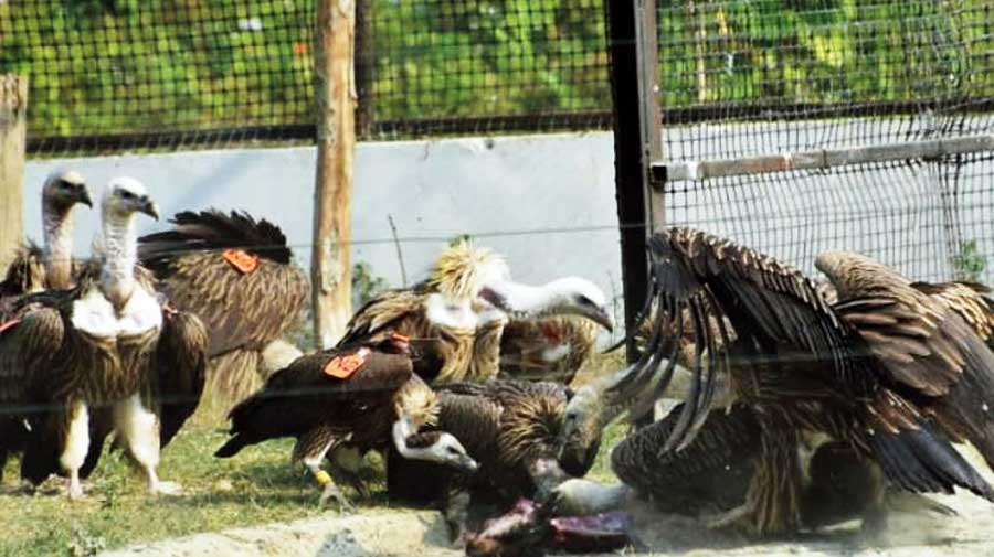 Some of the vultures before their release on Saturday