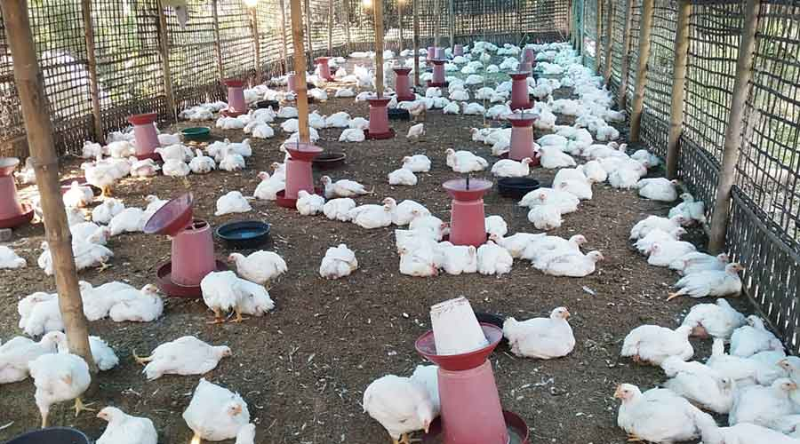 Broiler  chicken at a poultry farm in Golaghat district last week