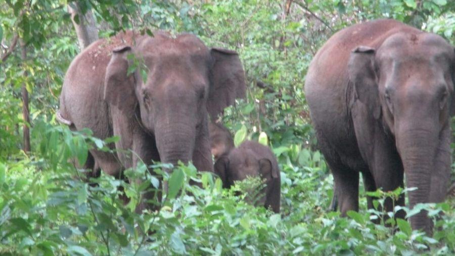 Elephants inside the Dalma Wildlife Sanctuary.