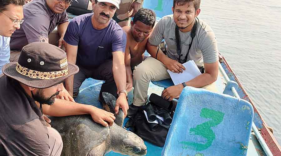 Scientists and officials tag Olive Ridley turtles at the Rushikulya rivermouth in Odisha's Ganjam district