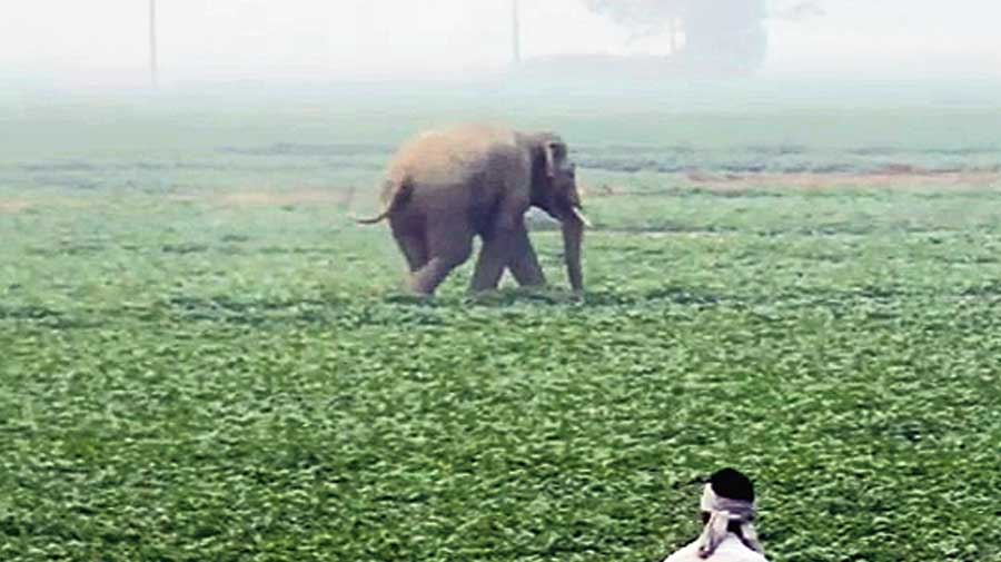 The elephant on rampage at Bala village in West Midnapore on Wednesday.