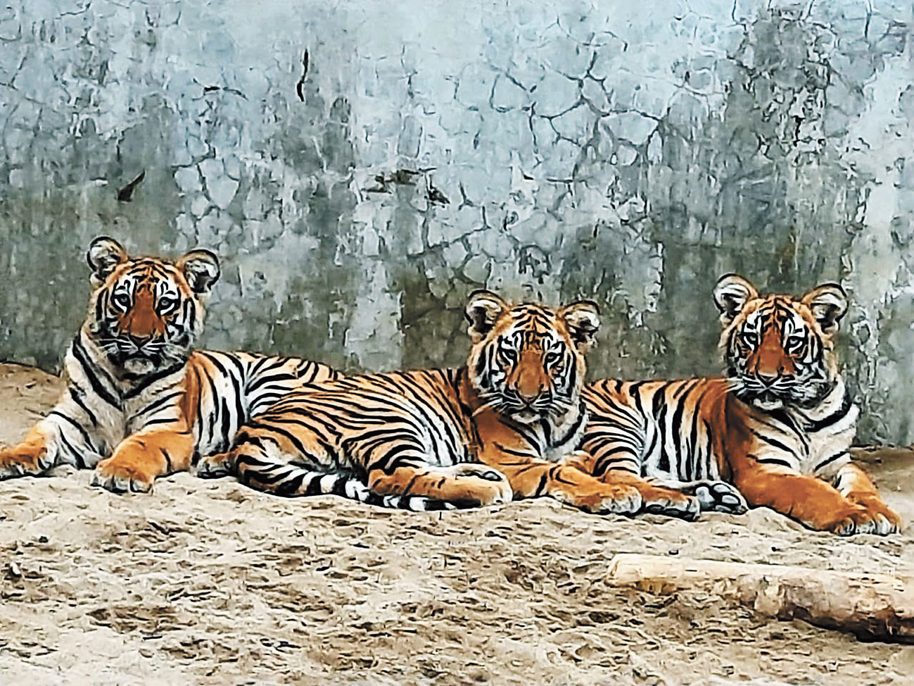 Three tiger cubs in an enclosure of the Bengal Safari Park.