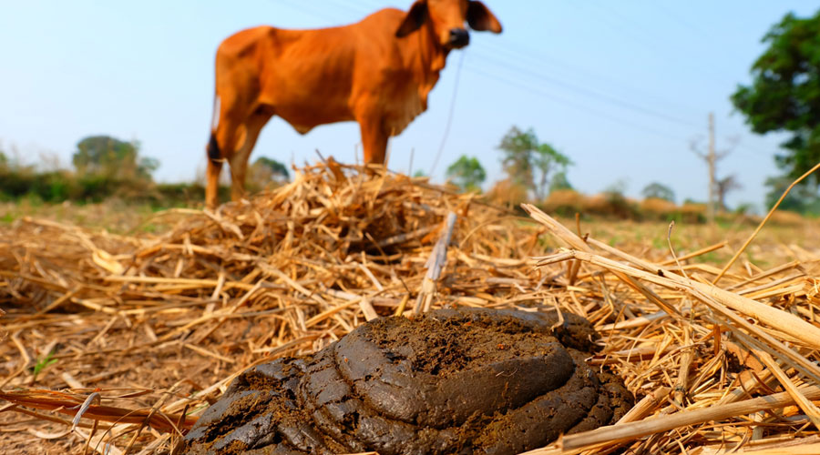 The experiments purportedly showed that cow-dung cakes partially blocked radiation from radioactive caesium.