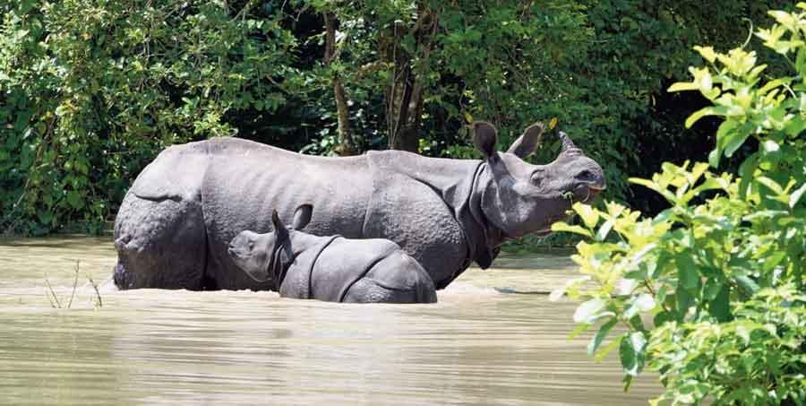 A rhino with her calf in Kaziranga