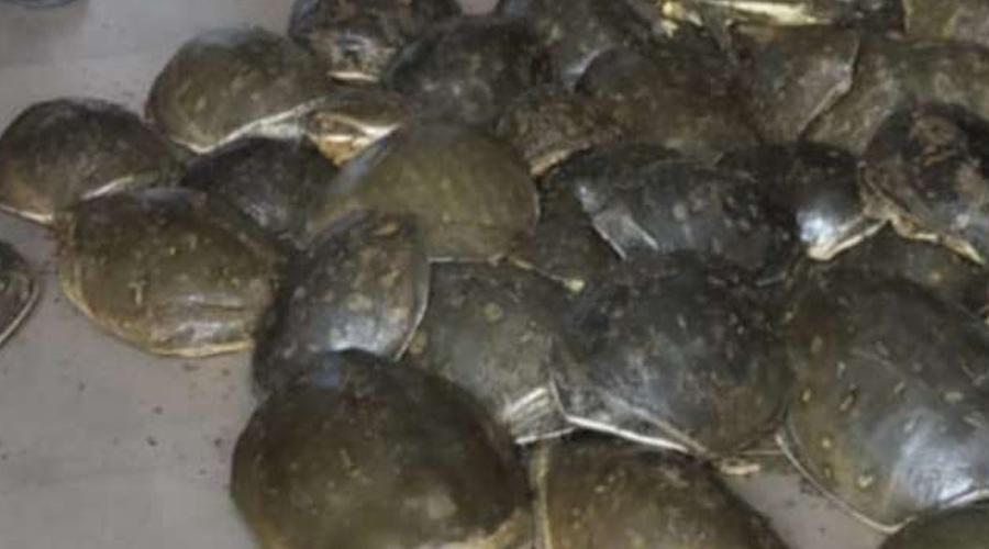 The turtles were brought from Uttar Pradesh in sacks and hidden under vegetables.