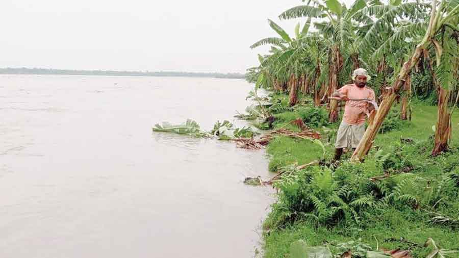 A farmer cuts down a banana plant to salvage the produce on the bank of the swollen Torsha at Bhajanpur near Cooch Behar on Wednesday.
