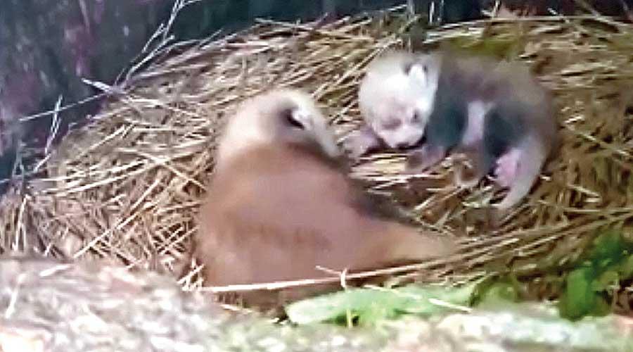 The newborn red pandas at the breeding centre of the Padmaja Naidu Himalayan Zoological Park in Darjeeling.