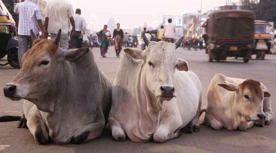 Teen run over by cow vigilantes