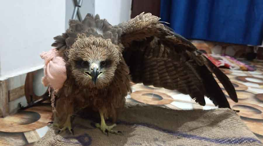 The bandaged black kite bird recuperates from a fracture of his right wing in Daltonganj.