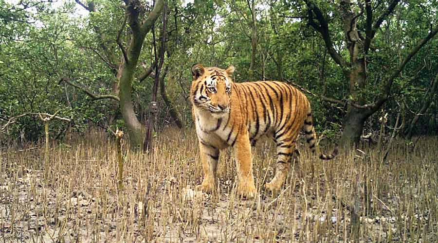 Image of tiger captured by hidden cameras in the Sunderbans.
