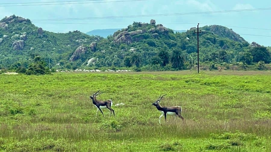 According to the national park's range forest officer Ankur Patel, blackbucks keep moving from one place to another, and the video was shot a few days back by a Gram Rakshak Dal (GRD) jawan stationed at a police check post on Dholera-Bhavnagar highway.
