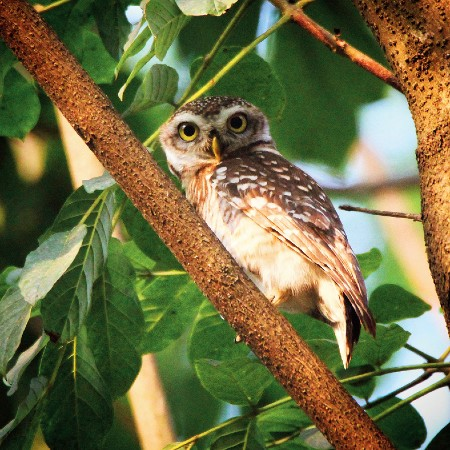 Spotted owlet woken up by the sing song voice