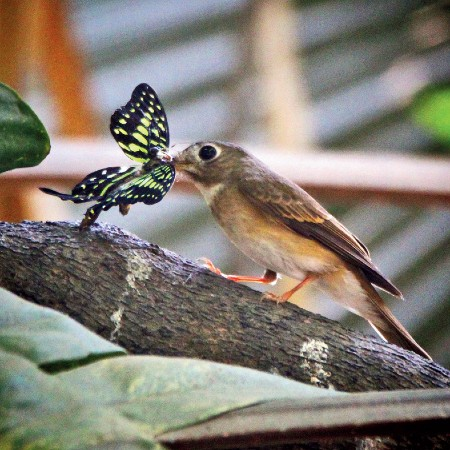 Brown-breasted flycatcher with common jay butterfly