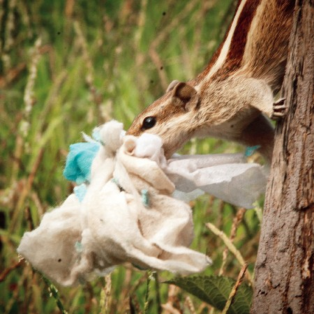 Palm squirrel collecting discarded masks as nesting material