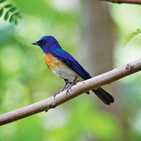 A male blue throated blue flycatcher