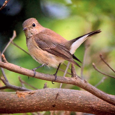 A cute Taiga flycatcher poses for me