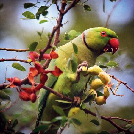 Rose-ringed parakeet relishing  Manila tamarind