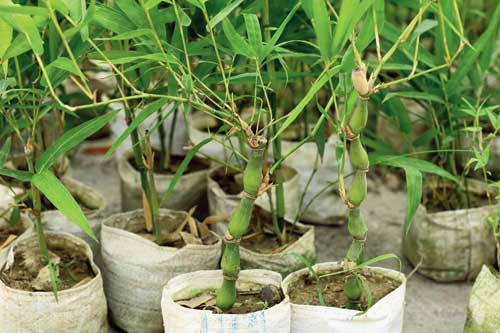 Bamboo saplings that were planted