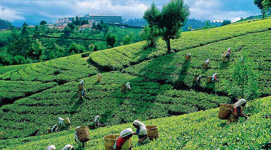 Given the weightage of wage in the cost of tea production, the hike may translate into an increase of Rs 25-35 a kg, depending on the productivity of a garden.