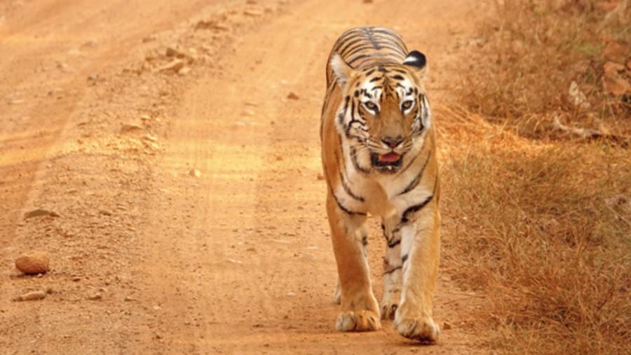 Surya, the tiger, at the Gothangaon gate of Umred Pauni Karhandla Wildlife Sanctuary