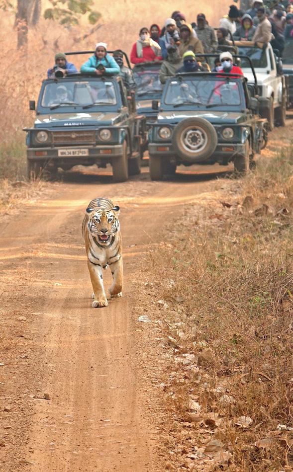 Maya, the sought-after female tigress at Tadoba