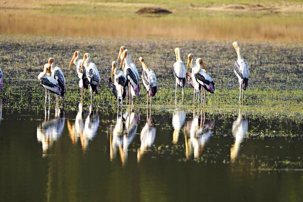 Painted storks at Tadoba Lake