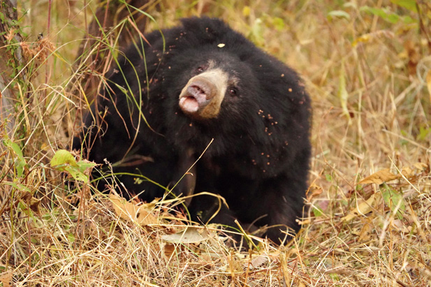 A sloth bear