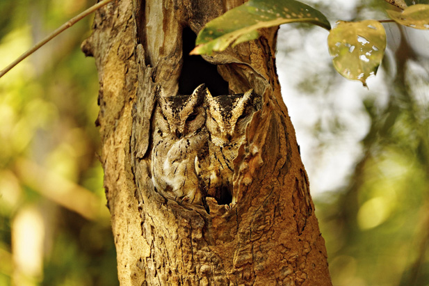 A pair of scops owl and