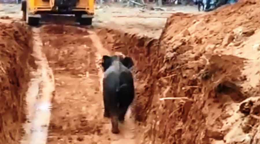 The calf after being recued from the well in Giridih.